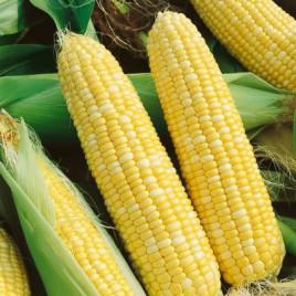 Organic Sweet Corn – 3 Pack